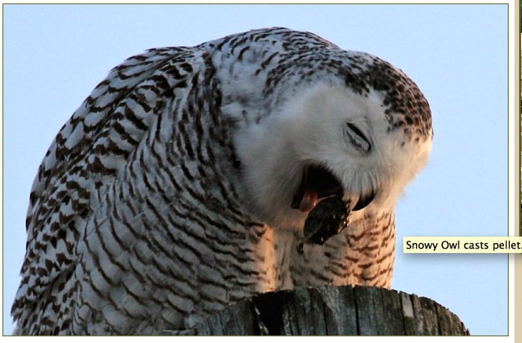 OwlCastsPellet